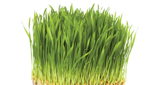 Alfalfa, Barley and Wheat Grass SuperFood Ingredient